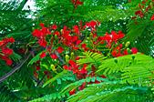 花。鳳凰木:IMG_4520.jpg