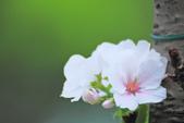 櫻。陽明山:IMG_8678.jpg