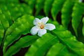 花。五月雪油桐花:IMG_0378.jpg