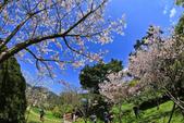 櫻。陽明山花季:IMG_0328.jpg