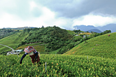 六十石山の金針花季。:IMG_10495.jpg