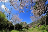 櫻。陽明山花季:IMG_14869.jpg