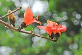 木棉花。:IMG_8716.jpg