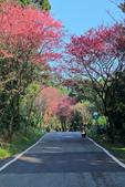 櫻。滬尾櫻花大道:IMG_14772.jpg