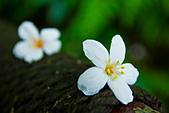 花。五月雪油桐花:IMG_0398.jpg
