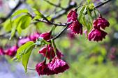 九族。櫻花季:IMG_4657.jpg