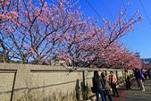 平菁街42巷。寒櫻綻放:IMG_6941.jpg