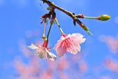 櫻。屈尺公園:IMG_7533.jpg