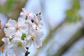 櫻。陽明山:IMG_8665.jpg