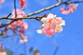 櫻。屈尺公園:IMG_7535.jpg