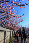 平菁街42巷。寒櫻綻放:IMG_6943.jpg