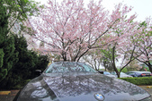 櫻。陽明山:IMG_8674.jpg