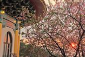 櫻。天元宮:IMG_12949.jpg