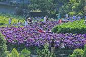 竹子湖。繡球花:IMG_13681.jpg