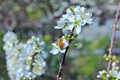 春。李花:IMG_7524.jpg