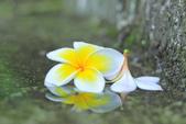 雞蛋花。:IMG_9479.jpg