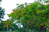 花。鳳凰木:IMG_4521.jpg