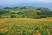 六十石山の金針花季。:IMG_10517.jpg