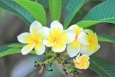 雞蛋花。:IMG_9469.jpg