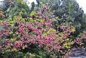 九族。櫻花季:IMG_4659.jpg