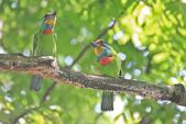 五色鳥。:IMG_10199.jpg