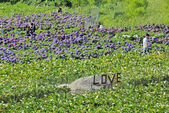竹子湖。繡球花:IMG_13682.jpg