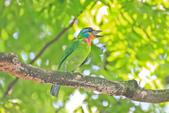 五色鳥。:IMG_10193.jpg
