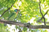 五色鳥。:IMG_10195.jpg