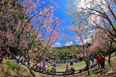 櫻。陽明山花季:IMG_14854.jpg