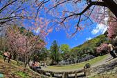 櫻。陽明山花季:IMG_14856.jpg