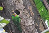 五色鳥。:IMG_10241.jpg