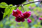 九族。櫻花季:IMG_46510.jpg
