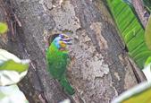 五色鳥。:IMG_10234.jpg