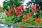 花。鳳凰木:IMG_4544.jpg
