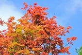 槭紅。:IMG_8699.jpg