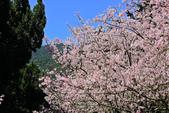 櫻。陽明山花季:IMG_14874.jpg