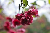 九族。櫻花季:IMG_46511.jpg
