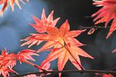 槭紅。:IMG_8705.jpg