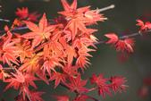 槭紅。:IMG_8712.jpg