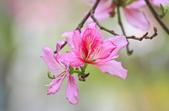 羊蹄甲。:IMG_8834.jpg