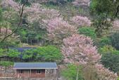 櫻。陽明山:IMG_8753.jpg