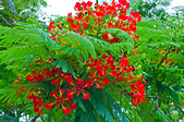 花。鳳凰木:IMG_4526.jpg
