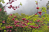 九族。櫻花季:IMG_46512.jpg