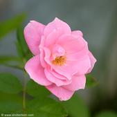 幸福檔案:pink-rose-b.jpg