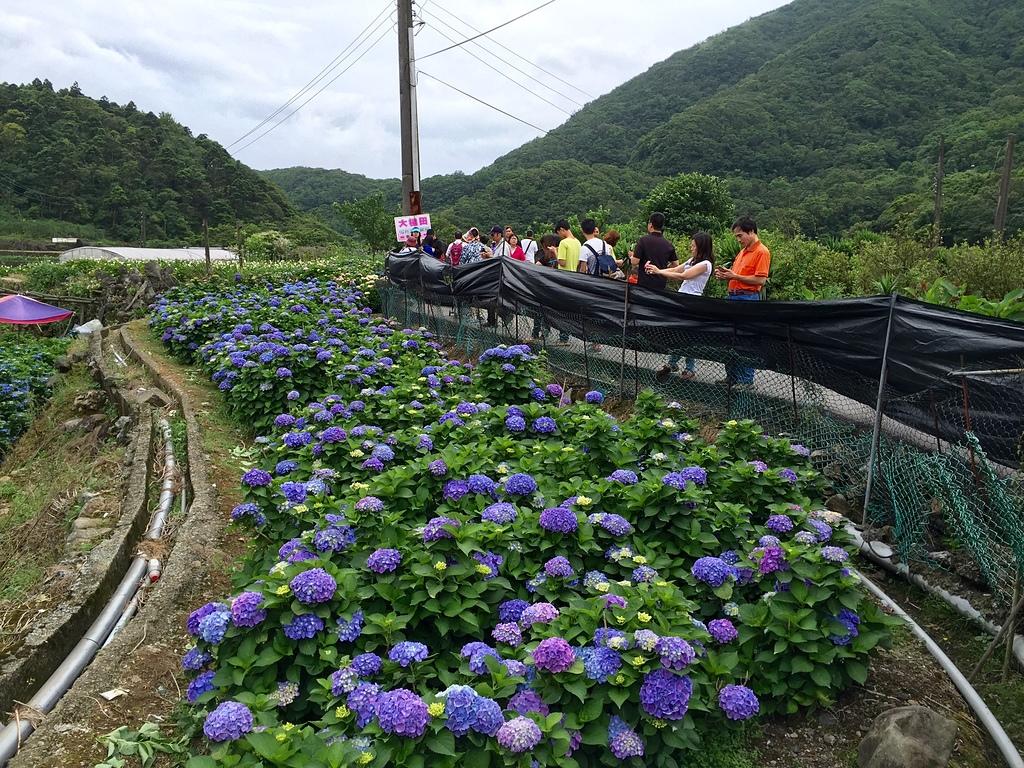 14公車站對面的大片繡球花.jpg - 20160522竹子湖繡球花