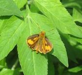 大湖公園白鷺鷥山:埔里紅弄蝶