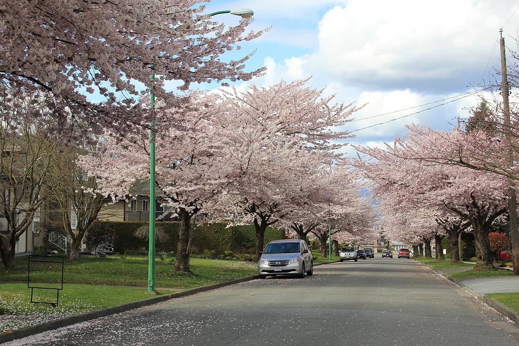 溫哥華的櫻花5.jpg - 櫻花