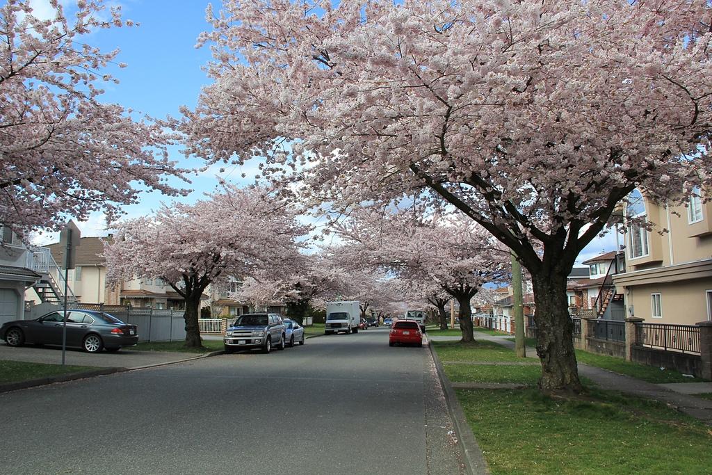 溫哥華的櫻花2.jpg - 櫻花