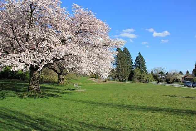 溫哥華QE Park的櫻花6.jpg - 櫻花