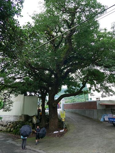 12百年幸福樹2.jpg - 坪瀨・琉璃光之橋 健行園區